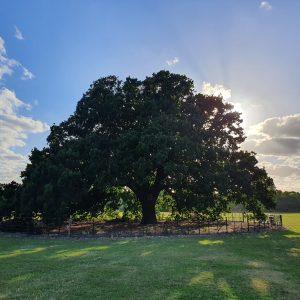Charter Oak in Danson Park