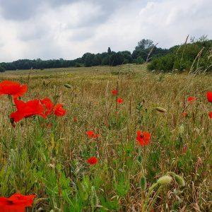East Wickham Open Space Poppies